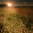 Rural landscape with lots of wild flowers in sunset — Stock Photo