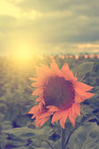 Vintage sunflower — Stock Photo