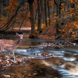 Beautiful deer in the forest with river — Stock Photo
