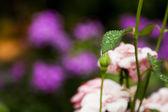 Bella rosa foglia dopo pioggia. — Foto Stock