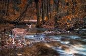 Vackra hjortar i skogen med floden — Stockfoto