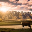 Cow with mountain background — Stock Photo
