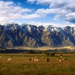Cow herd with background snowy mountains — Stock Photo #30114055