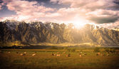 Cow herd in sunset — Stock Photo