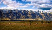 Stádo krav s pozadí zasněžené hory — Stock fotografie