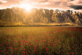 Beautiful flower field with background mountains — Stock Photo