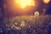 Vintage photo of dandelion field in sunset — Stock Photo