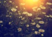 Blancs fleurs sauvages au coucher du soleil — Photo