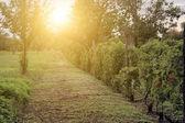 Vignoble au coucher du soleil — Photo