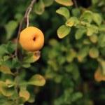 Wild apple on tree — Stock Photo