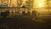 Farmland in sunset with herd of cows — Stock Photo