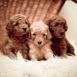 Stock Photo: Toy-poodle puppies