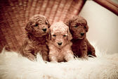 Toy-poodle puppies — Stock Photo