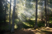 The sun's rays illuminate the misty forest — Stock Photo