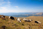 A herd of sheep grazing on the slopes of the mountains — Stock Photo
