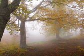 Fog in autumn beech forest — Stock Photo