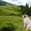 CarpathiShepherd Dog — Stock Photo #29528093