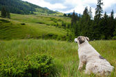 Carpathian Shepherd Dog — Stock Photo