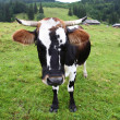 Cow on pasture — Stock Photo #31114297