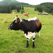 Cow on pasture — Stock Photo #31114533