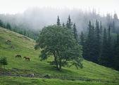 Horses on the slopes of the Carpathians — Stock Photo