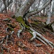 Roots of beech forest — Stock Photo #38953885