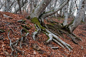 Roots of beech forest — Stockfoto