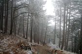 Pine forest covered with frost — Foto Stock