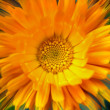 Calendula — Stock Photo #19224251