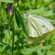 Two butterflies Pieris — Stockfoto
