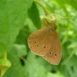 Butterfly (RINGLET, Aphantopus hyperantus) on flower of raspberries - Photo
