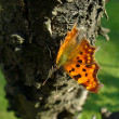 Royalty-Free Stock Photo: Butterfly (COMMA, Polygonia c-album) on a peach tree