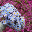 Nosegay - Forget-me-not - Myosotis - Stock Photo