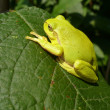 Frog on leaf - Stock Photo