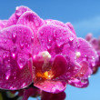 Orchid and drops of water - Stock Photo