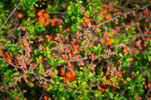 Gooseberry bush with red buds — Stock Photo