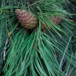 Cones on a fir-tree branch — Stock Photo