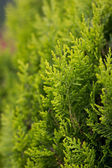 Green branches of a decorative tree — Zdjęcie stockowe