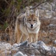 Coyote looking — Stock Photo #19820993