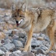 Coyote strolling — Stock Photo