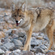Stock Photo: Coyote strolling