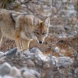 Cautious coyote — Stock Photo