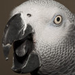 Gray parrot portrait  — Stock Photo
