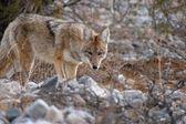 Cautious coyote — Stock Photo