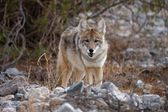 Coyote looking — Stock Photo