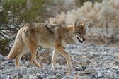 Coyote prowling — Stock Photo