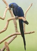 Hyacinth Macaw — Stock Photo