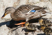 Mother duck and young chicks — Stock Photo