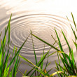 Stock Photo: Pond ripple zen