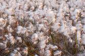 Irish bog cotton — Stock Photo